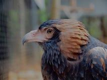 Halcón negro-Breasted independiente inteligente con plumaje magnífico Foto de archivo