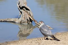 Halcón, Pale Chanting - pájaros salvajes de África - Red Eye Imagen de archivo libre de regalías