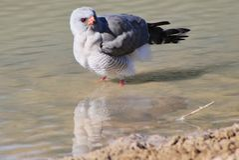 Halcón, Pale Chanting - pájaros salvajes de África - reflexiones Fotos de archivo libres de regalías