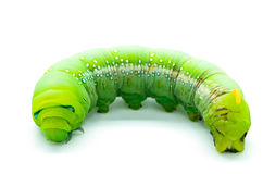 Halcón-polilla del adelfa de Caterpillar Imagen de archivo libre de regalías