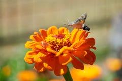 Halcón-polilla del colibrí Fotografía de archivo libre de regalías