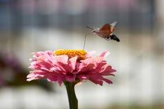 Halcón-polilla del colibrí Imágenes de archivo libres de regalías