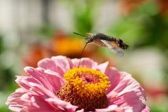 Halcón-polilla del colibrí Foto de archivo libre de regalías