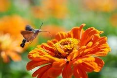 Halcón-polilla del colibrí Fotografía de archivo