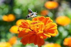 Halcón-polilla del colibrí Fotos de archivo