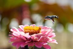 Halcón-polilla del colibrí Foto de archivo