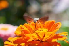 Halcón-polilla del colibrí Imagen de archivo