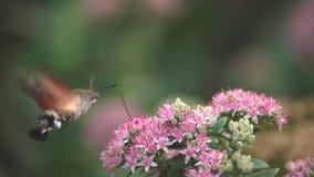 Halcón-polilla del colibrí almacen de video