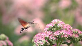 Halcón-polilla del colibrí almacen de metraje de vídeo
