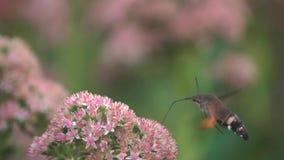 Halcón-polilla del colibrí metrajes
