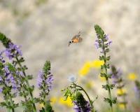 Halcón-polilla del colibrí Fotos de archivo libres de regalías