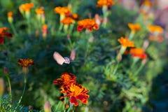 Halcón-polilla del colibrí en las flores Abeja del Sphingidae Imagen de archivo libre de regalías