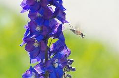 Halcón-polilla del colibrí que asoma Imagen de archivo