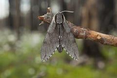 Halcón-polilla del pino (pinastri de la esfinge) Imágenes de archivo libres de regalías