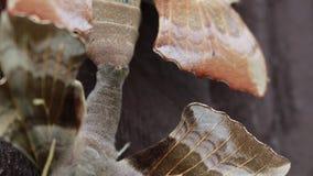 2 halcón-polillas del álamo, populi de Laothoe, copulating en la cerca del jardín, Escocia, junio almacen de metraje de vídeo