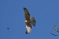 Halcón que caza su presa en vuelo imagen de archivo libre de regalías