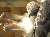 halcón Rojo-atado Imagenes de archivo