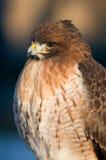 halcón Rojo-atado Fotos de archivo libres de regalías