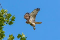 halcón Rojo-atado en vuelo fotografía de archivo libre de regalías