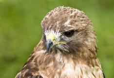 halcón Rojo-atado (jamaicensis del Buteo) Imagen de archivo