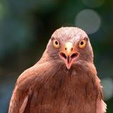 halcón Rufo-con alas Fotos de archivo libres de regalías