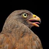 halcón Rufo-con alas Imagenes de archivo