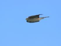 halcón Sostenido-shinned Fotografía de archivo