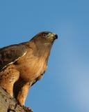 Halcón vigilante contra el cielo azul Imagenes de archivo
