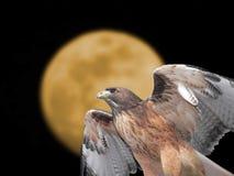 halcón Rojo-atado Imágenes de archivo libres de regalías