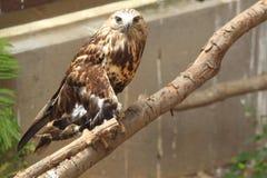 halcón Áspero-legged Imágenes de archivo libres de regalías