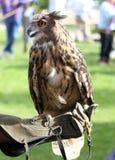 Halconero con el guante para entrenar a pájaros Foto de archivo libre de regalías