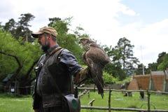 Halconero con el halcón, cherrug del falco. Foto de archivo libre de regalías