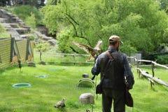 Halconero con el halcón, cherrug del falco. Fotografía de archivo libre de regalías