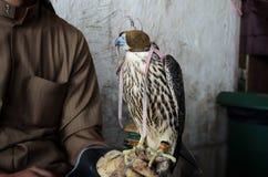 Halconero con el halcón de la cetrería Fotos de archivo libres de regalías