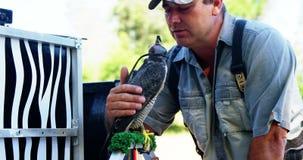 Halconero de sexo masculino que frota ligeramente el halcón encapuchado almacen de metraje de vídeo