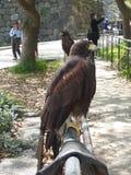 halcones Imagenes de archivo