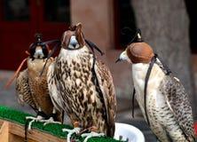 Halcones de la caza, Abu Dhabi Fotografía de archivo libre de regalías