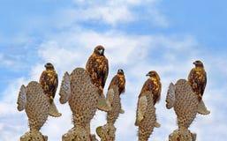 Halcones de las Islas Gal3apagos en Santa Fe Fotografía de archivo