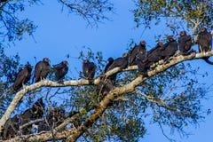 Halcones, pájaros sociales de Roosting de la oportunidad. Imagenes de archivo