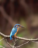 Halcyon ( Alcedo atthis ) Stock Photos