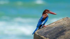 halcyon kingfisher Smyrnensis Стоковое Фото