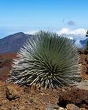 危险的Haleakala Silversword 免版税库存照片