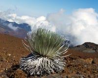 Haleakala Silversword: bedreigde species Royalty-vrije Stock Afbeeldingen