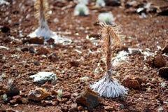 Haleakala silversword,高度危险的开花植物地方病到毛伊,夏威夷海岛  深红银矿sandwicense子空间 S 免版税库存图片