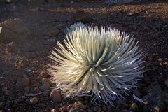 Haleakala Silversword Royalty Free Stock Photography