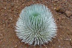 Haleakala silversword Argyroxiphium sandwicense or Ahinahina in Hawaiian language stock images