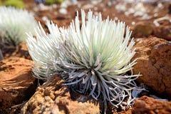 Haleakala silversword, högt utsatt för fara endemisk för blomningväxt till ön av Maui, Hawaii Argyroxiphiumsandwicensesubsp S Royaltyfri Fotografi