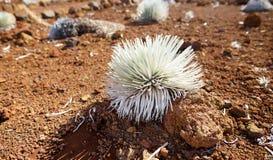 Haleakala silversword, högt utsatt för fara endemisk för blomningväxt till ön av Maui, Hawaii Argyroxiphiumsandwicensesubsp S Fotografering för Bildbyråer