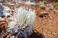 Haleakala silversword, högt utsatt för fara endemisk för blomningväxt till ön av Maui, Hawaii Argyroxiphiumsandwicensesubsp S Arkivfoto