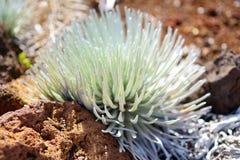 Haleakala silversword, högt utsatt för fara endemisk för blomningväxt till ön av Maui, Hawaii Argyroxiphiumsandwicensesubsp S Arkivbilder